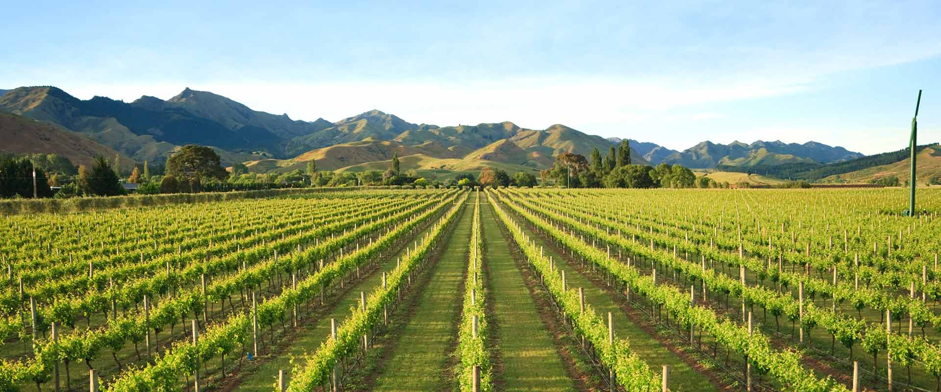 Rows of lush green vines, New Zealand