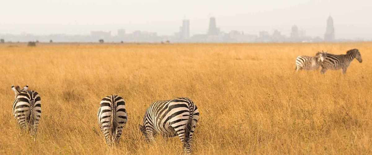 A group of zebras wandering through long grass, Kenya