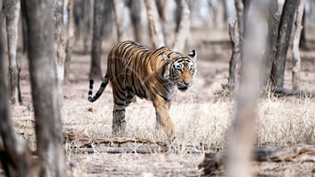 Tiger walking through the dry grasses surrounded by the tall timber woodlands, India