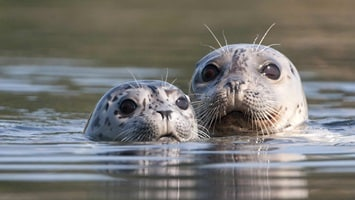 A close up of the heads of two seals popping out of the water