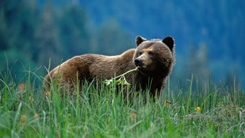Brown grizzly bear standing in long grass, Canada