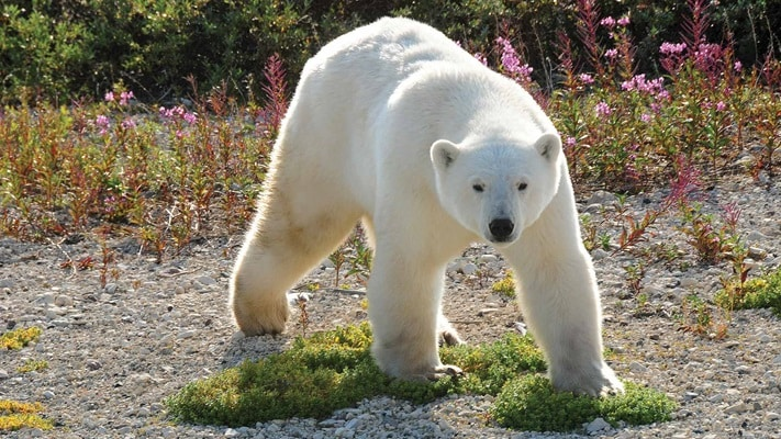 Polar Bear wandering amongst the bush, Canada