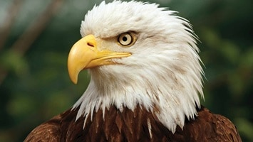 Close up of an eagle with a yellow beek, USA