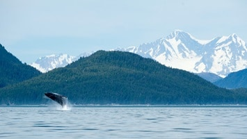 Whale breaching in the distance with a back drop of the snow covered mountains