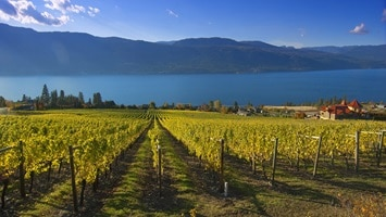 Vineyard with lake and mountains in the background, Canada