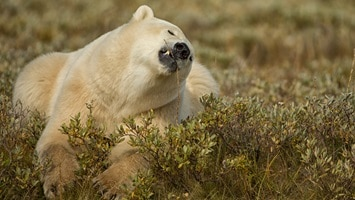 Native white polar bear in long grass, Canada