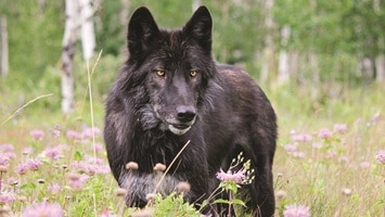 Black wolf standing in long grass