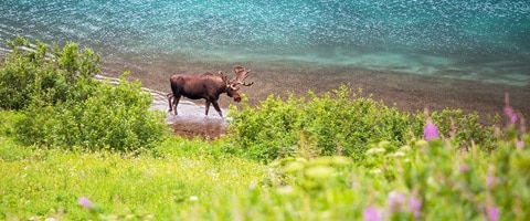 Single moose grazing by the waters edge, Alaska