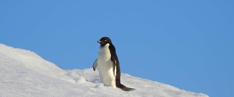 Single penguin walking along the ice, Antarctica